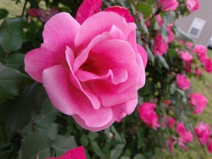 light_pink_rose_by_thecr8tive1-d4xcyrb